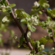 Young leaves on the branches of the Apple tree — Stock Photo #19012959