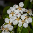 Stock Photo: White flower Apple-tree Malus
