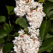 White flower Syringa — Stock Photo