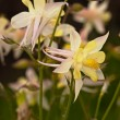 White flower Aquilegia — Stock Photo