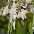 White flower Hosta — Stock Photo