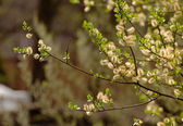 Flowers willow spring (S�lix) — Stock Photo