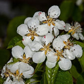 White flower Apple-tree Malus — Stock Photo