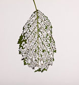 Leaves are eaten away caterpillars on white — Stock Photo