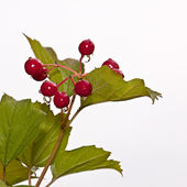 Red berries of a guelder-rose — Stock Photo