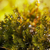 Drops of water on the moss — Stock Photo