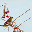 Bird waxwing — Stock Photo