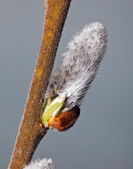 Flowers willow spring (Salix) — Stock Photo