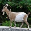 Stock Photo: Domestic goat