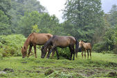 Grazing horses — Stockfoto