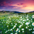 Summer field with white daisies — Stock Photo
