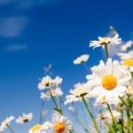 Beyaz papatya alanıyla yaz — Stok fotoğraf #31340593