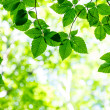 Bright green leaves on the branches — Stockfoto