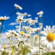 Summer field with white daisies on blue sky. — Stock Photo