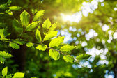 Bright green leaves on the branches — Stock Photo