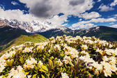 Alpine meadows at the foot of Mt. Shkhara — Foto Stock