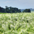 Green wheat and blue sky — Stok fotoğraf