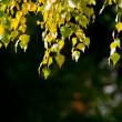 Leaves on the branches — Stock Photo