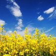 Yellow field rapeseed in bloom with blue sky — Stock Photo #31467787