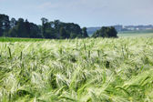 Green wheat and blue sky — Stock Photo