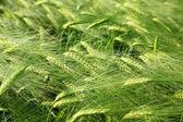 Fresh morning wheat — Stock Photo