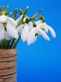 Sněženky v váza — Stock fotografie