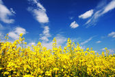 Yellow field rapeseed in bloom with blue sky — Stock Photo