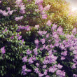 Lilac flowers with the leaves — Foto de Stock