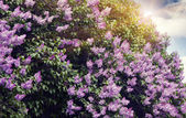 Lilac flowers with the leaves — Stock Photo