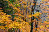 Autumn leaves on a trees in forest — Stock Photo