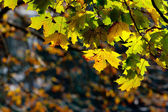 Maple leaves on the branches — Foto de Stock