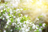 Blossoming tree with white flowers — Stock Photo