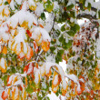 Colorful leaves covered with snow — Stockfoto