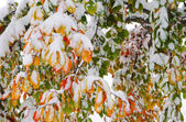 Colorful leaves covered with snow — Stock Photo