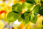 Green leaves on the branches — Stock Photo