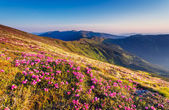 Pink rhododendron flowers on summer mountain. — Stock Photo