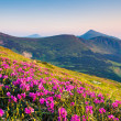 Rhododendron flowers in mountains — Stock Photo
