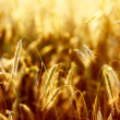 Close up of wheat — Stock Photo