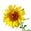 Isolated sunflower — Foto de Stock