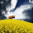 Yellow field and horses — Stock Photo