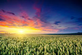 Fantastic wheat field at the sunset — Stock Photo