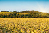 Tarweveld en blauwe hemel — Stockfoto