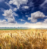 Wheat field and fluffy clouds — Stock Photo