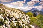 Alpine meadows with rhododendron flowers — Stock Photo