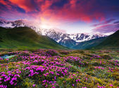 Colorful sunset and rhododendron bloom — Stock Photo