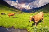 Cows grazing on alpine meadow — Stock Photo