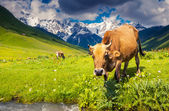 Cows grazing on alpine meadow — Stok fotoğraf