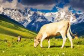 Kor som betar på alpina äng — Stockfoto