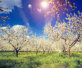 Apple orchard and blue sky — Stock Photo