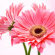 Three red Gerber flowers on pink background. — Stock Photo #13769614